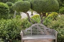 Cloud-pruned olive tree bonsai, wooden bench, Lantana camara