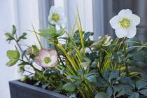 Helleborus niger HGC Wintergold, syn. Helleborus 'Coseh 2010' and  Acorus gramineus in windowbox