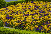 Colourful pansy bedding