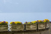 Pansies in troughs on wall, Lake Como
