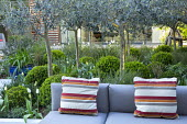 Standard olive tree grove underplanted with clipped box balls, outdoor sofas by Gloster with cushions, Tulipa 'White Triumphator'