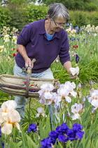 Sarah Cook picking irises