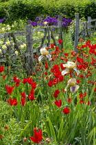 Iris 'Benton Olive', Tulipa sprengeri, Aquilegia sprengeri