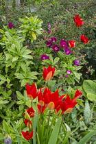 Tulipa sprengeri, Daphne odora 'Aureomarginata'