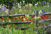Wooden hurdle fence, Aquilegia chrysantha, Tulipa sprengeri, Benton End irises