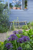 Blue painted shed, rustic wooden bench, Allium 'Purple Rain', Olea europaea