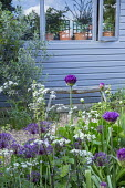Allium 'Purple Rain', blue painted shed, rustic wooden bench, Anthriscus sylvestris 'Ravenswing', Olea europaea