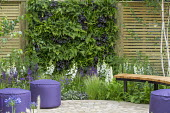 Living green vertical wall, wooden bench and purple pouffes on patio, foxgloves, Stipa tenuissima