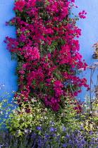 Bougainvillea 'Barbara Karst' on living green vertical wall, blue painted wall, Gillenia trifoliata