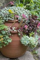 Sempervivums, sedums and echeverias in strawberry pot