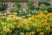 Alstroemeria and roses in walled garden border, espaliered fruit trees