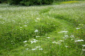 Curving mown path through wildflower meadow