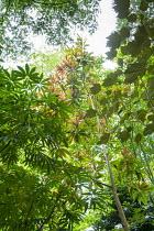 Sinopanax formosanus, Schefflera taiwaniana, Eriobotrya deflexa