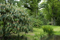 Woodland valley garden, Iris pseudacorus by pond