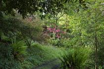 Woodland garden, rhododendrons, ferns