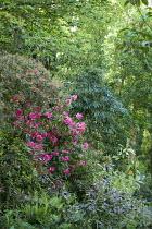 Woodland garden, rhododendrons, schefflera