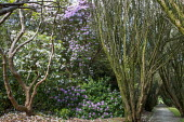 Yew Walk, rhododendrons