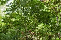 Schefflera taiwaniana, Eriobotrya deflexa