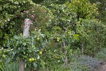 Espaliered apple tree screen in kitchen garden