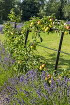 Trained apple tree espalier on fence, lavender