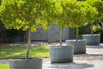 Row of standard trained lollipop Phillyrea latifolia trees in wooden half barrels on terrace