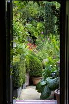 View through doorway into plantsman's courtyard garden, Bergenia ciliata, clipped box hedge, dahlia, Taxus baccata 'Fastigiata'