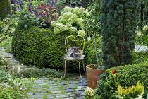 Cat sitting on chair on stone patio in small urban garden, Taxus baccata 'Fastigiata', yew hedge, Hydrangea arborescens 'Annabelle', Salvia 'Amistad', Hylotelephium 'Red Cauli' syn. sedum