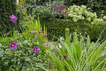 Dahlia 'Cornish Ruby', Eucomis pole-evansii, yew hedge, Hydrangea arborescens 'Annabelle', Hylotelephium 'Red Cauli' syn. sedum, Salvia 'Amistad'