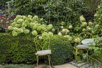 Chairs on patio in small urban garden, yew hedge, Hydrangea arborescens 'Annabelle', Hydrangea paniculata 'Limelight', Hylotelephium 'Red Cauli' syn. sedum, Itea ilicifolia