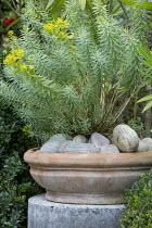 Euphorbia 'Blue Haze' in terracotta pot, pebble mulch