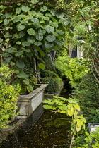 Raised ponds in urban courtyard garden, Osmunda regalis, Actinidia deliciosa