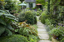 Shady urban garden, Begonia grandis subsp. evansiana, lavender along stone path, fuchsia, Salvia 'Amistad', low clipped yew hedge