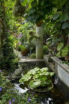 Pond in urban courtyard garden, Actinidia deliciosa