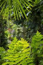 Osmunda regalis under Trachycarpus fortunei, Actinidia deliciosa