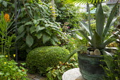 Agave americana in pot, hydrangea, clipped box dome, Begonia grandis subsp. evansiana