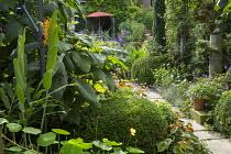 Shady urban garden, Begonia grandis subsp. evansiana, lavender along stone path, Salvia 'Amistad', box topiary, hydrangea, Hedychium coccineum 'Tara'