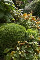 Box topiary domes, Begonia grandis subsp. evansiana, hydrangea