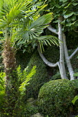 Trachycarpus fortunei, clipped Buxus sempervirens, fig tree