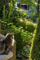 Cat on sofa, nasturtiums, hydrangea, box topiary