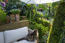 Cat on outdoor sofa, hydrangea, Myrsine africana topiary
