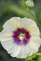 Alcea rosea 'Halo Cream' (Halo Series)