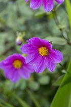 Dahlia 'Cornish Ruby'