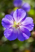 Geranium 'Rozanne' syn. 'Jolly Bee'