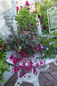 Fuchsia 'Eruption' and viola in pots on metal table on patio, classical bust