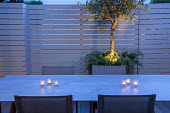 Table and chairs in small courtyard garden, white painted wooden fence, candles, up-lit olive tree underplanted with Rosmarinus officinalis Prostratus Group
