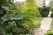 Collection tender exotics in pots on patio, gunnera, Begonia luxurians, fuchsia