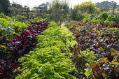 Rows of lettuces, parsley and chard in kitchen garden