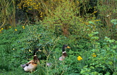 Ducks in shady garden, forsythia, daffodils