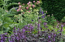 Purple sage, cardoons, roses