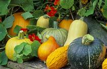Harvested squashes and pumpkins amongst nasturtiums